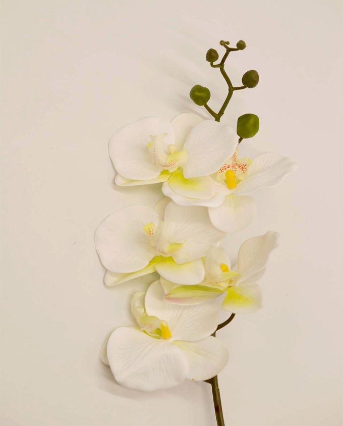 Phalaenopsis Ορχιδέα